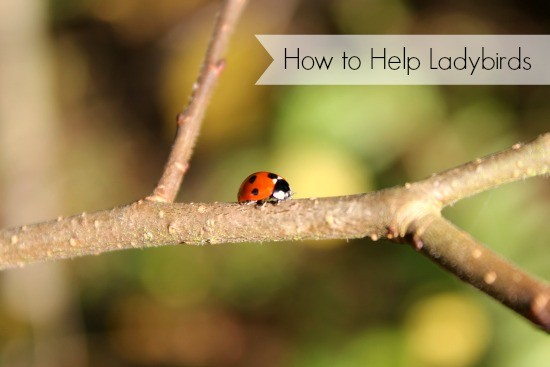 how to help ladybirds