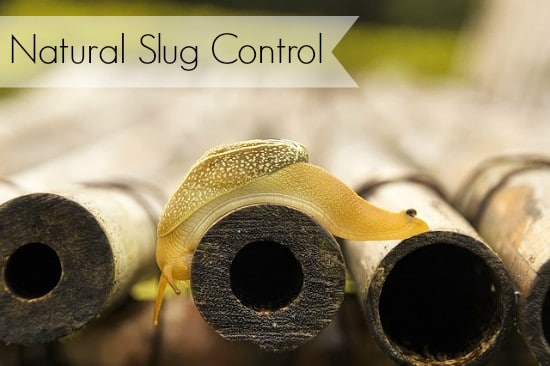 natural slug control methods