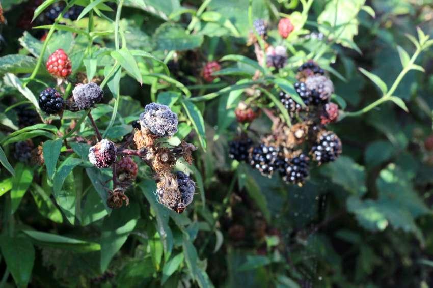 rotten blackberries