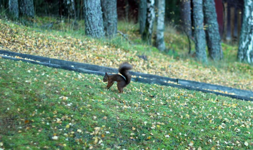 red squirrels aviemore