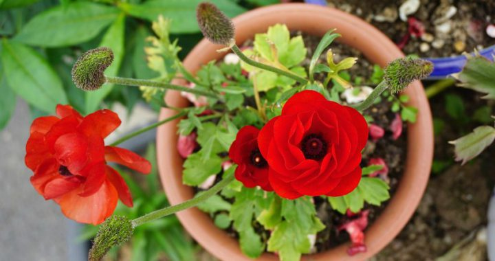 pretty red flower - perfect patio plant
