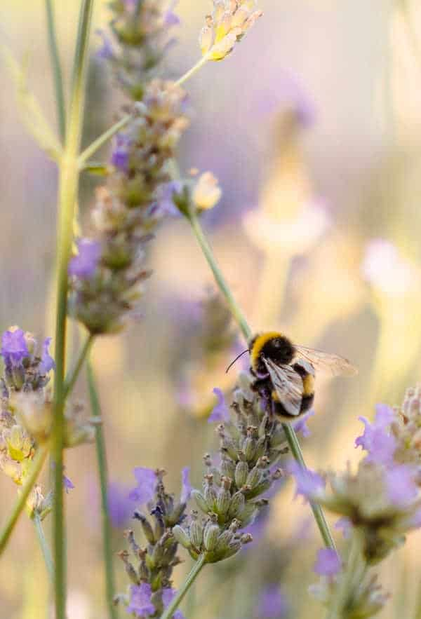 how to attract bees to your garden or windowbox
