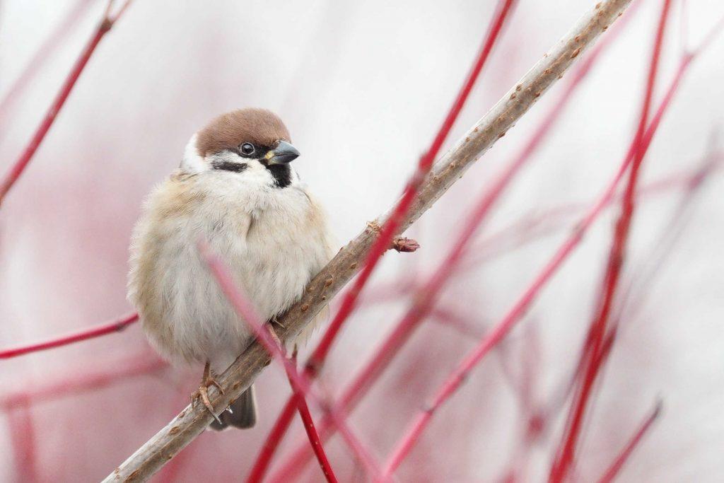 wild birds and sparrows